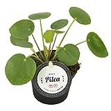 Glückstaler, (Pilea peperomioides), Chinesischer Geldbaum, Zimmerpflanze, (im 8cm Topf)