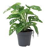 "Monstera obliqua ""Monkey Leaf"" | Fensterblatt | Luftreinigend | Höhe 20-30cm | Topf-Ø 12cm"