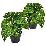 Lochpflanze   Monstera 'Monkey Leaf' pro 2 Stück - Zimmerpflanze im Aufzuchttopf ⌀12 cm - 30 cm