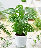 BALDUR-Garten Monstera'Monkey Leaf',1 Pflanze