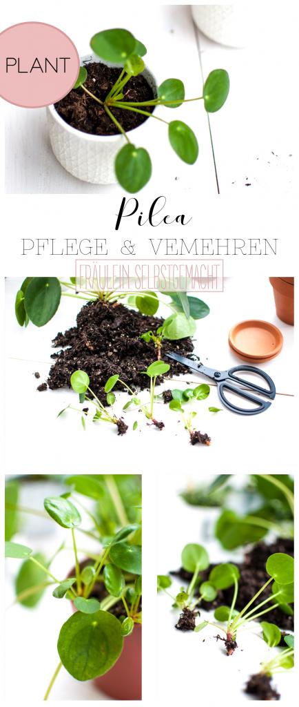 Pilea Pflege & Vermehren Pin
