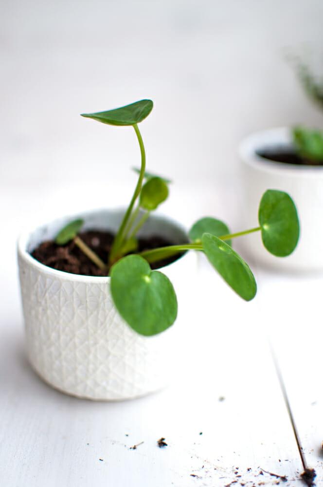 pilea vermehren mit baby pflanzen von fr ulein selbstgemacht. Black Bedroom Furniture Sets. Home Design Ideas