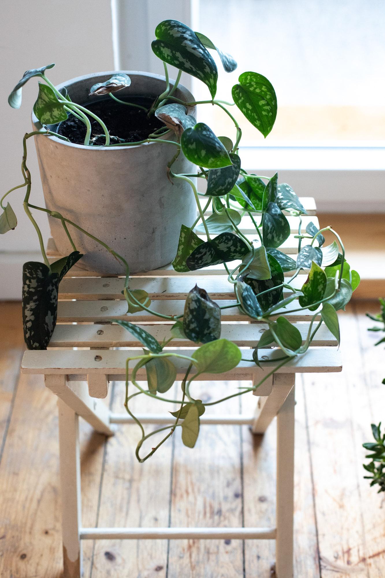 pflanzenbilder_pflanzenkatalog-efeutute_gefleckt_scindapsus-1