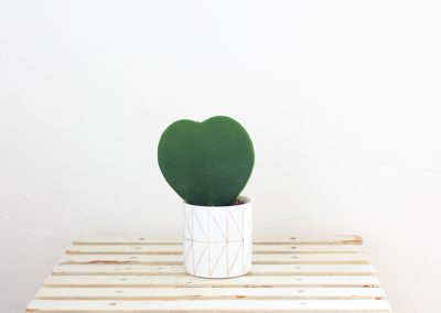 Herzblatt Kaktus (hoya kerrii)