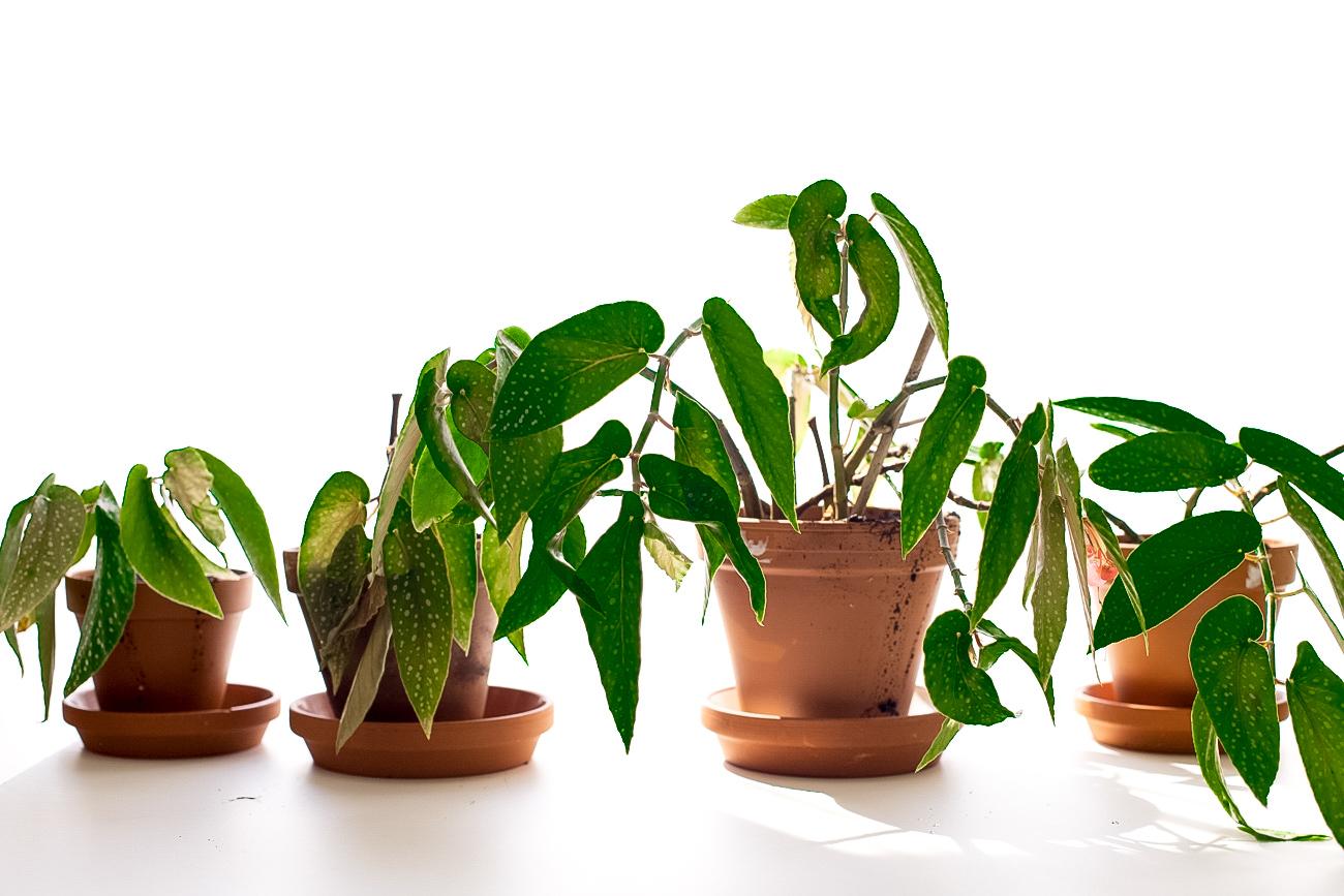 begonia-maculata-forellenbegonie-ableger-pflege-13