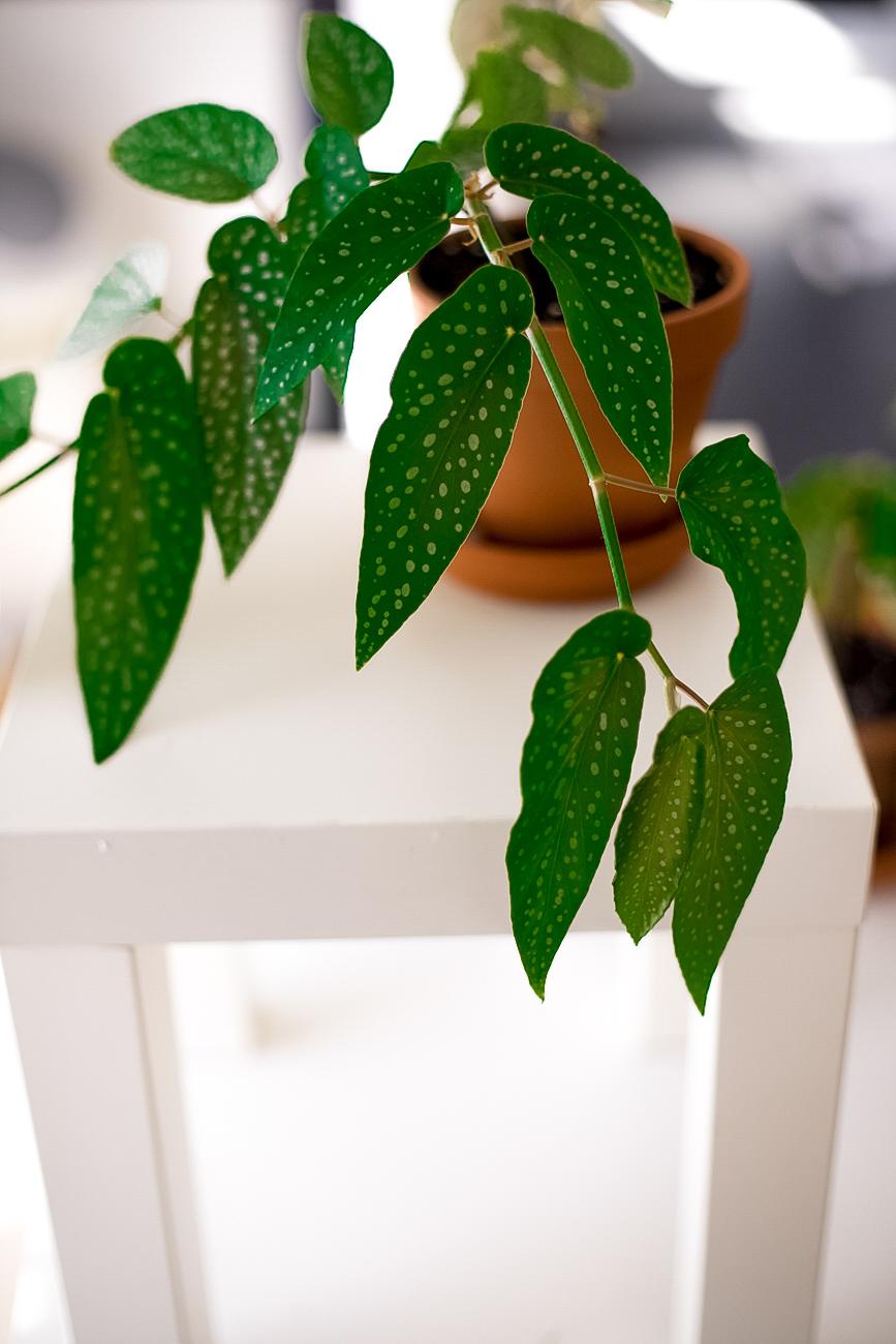 begonia-maculata-forellenbegonie-ableger-pflege-29