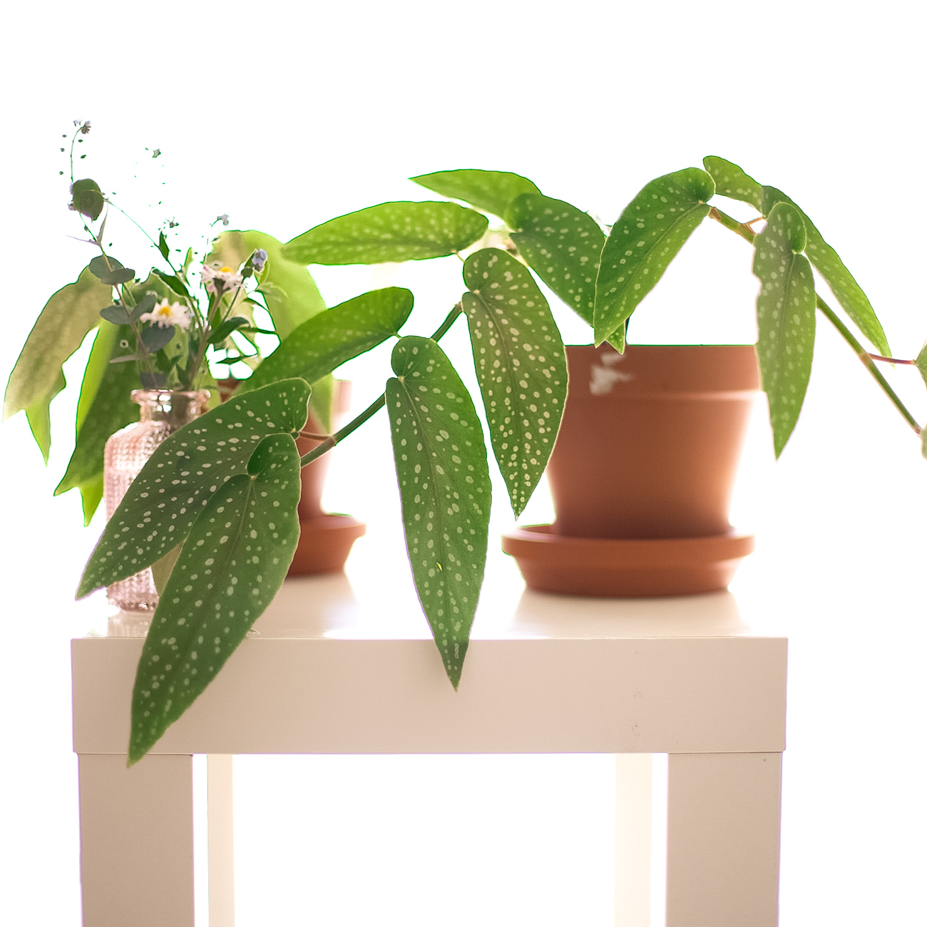 begonia-maculata-forellenbegonie-ableger-pflege-34