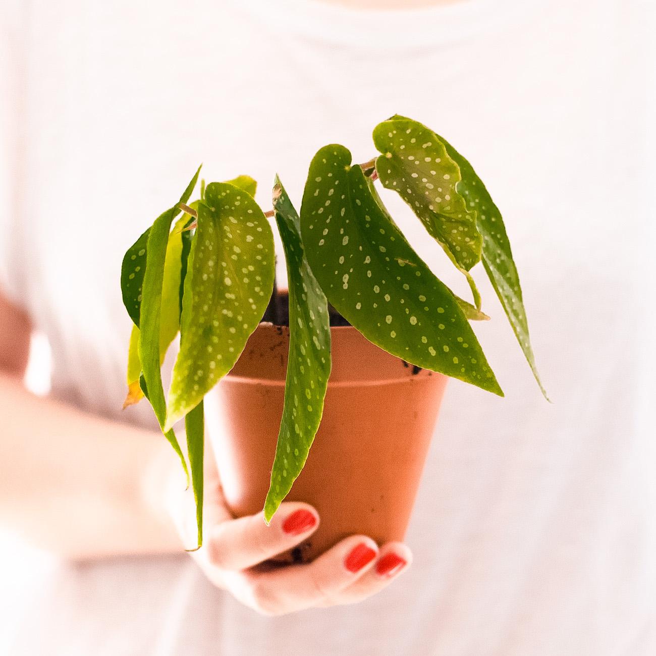 begonia-maculata-forellenbegonie-ableger-pflege-39