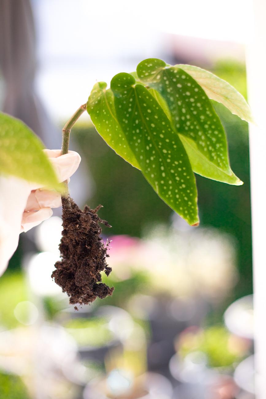 begonia-maculata-forellenbegonie-ableger-pflege-5