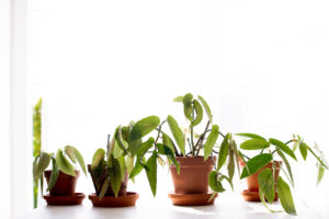 begonia-maculata-forellenbegonie-ableger-pflege