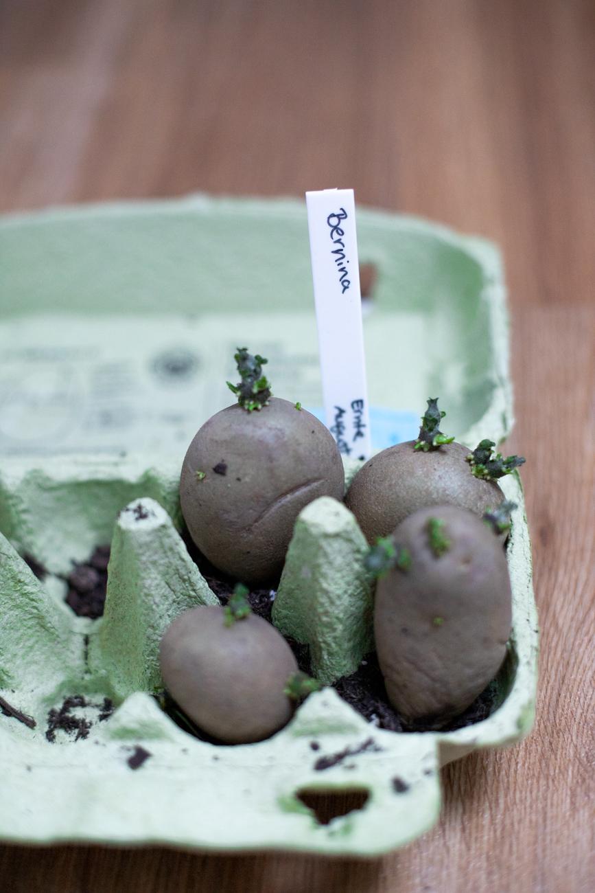 Saatkartoffeln im Eierkarton